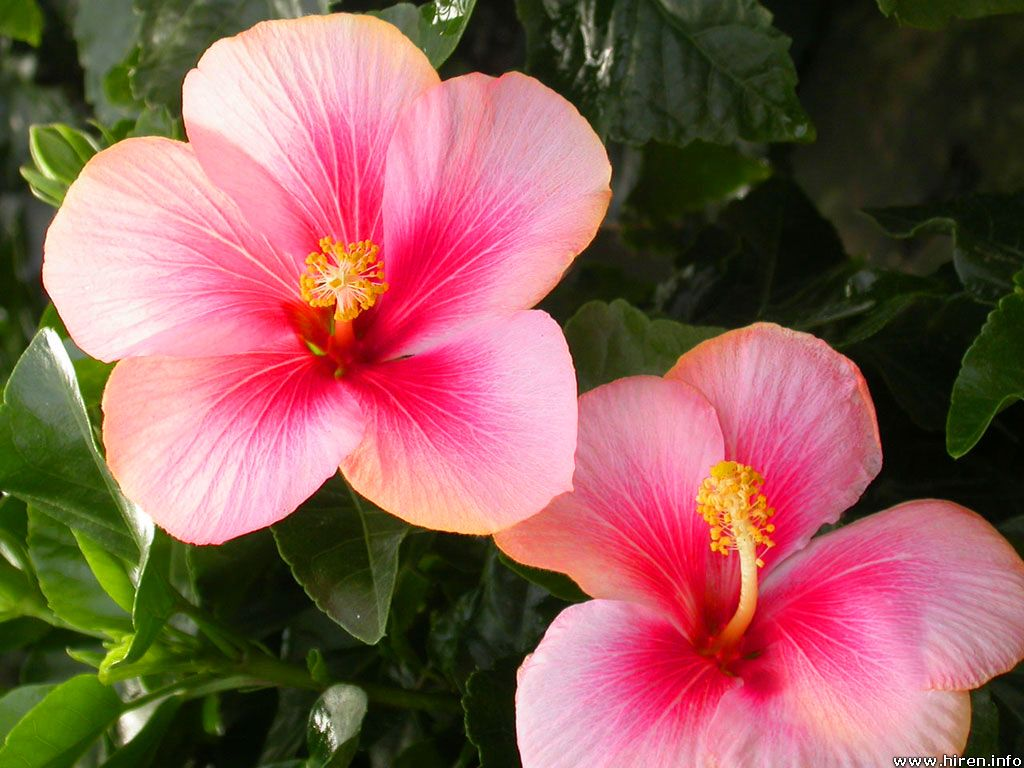 Flower Homes Hibiscus Flowers
