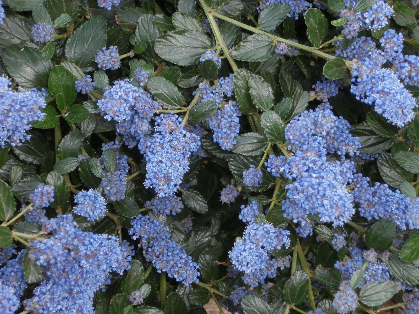 Metido en jardines ceanothus for Arbustos de hoja caduca