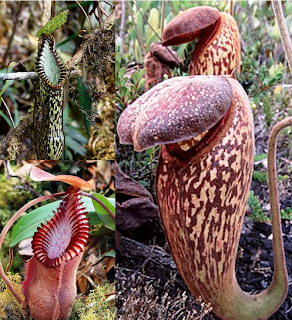 Kantong semar Tropical pitcher plant