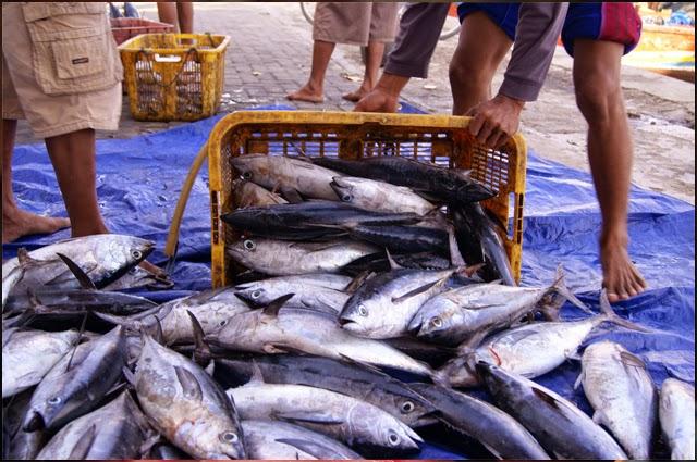 Gambar pelelangan ikan tongkol