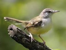 daya tarik dan ciri ciri burung ciblek yang baik   budidaya usaha
