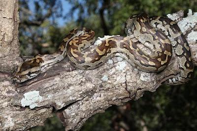 Pitón de las rocas de Natal Python natalensis