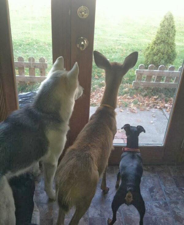 Funny animals of the week - 13 December 2013 (40 pics), two dogs and deer looking out through glass door