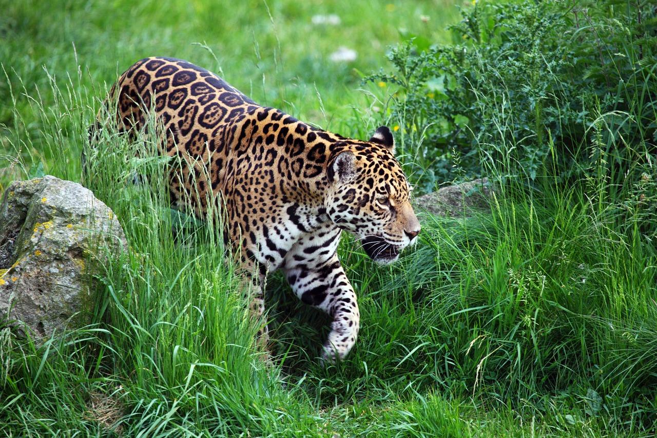 foto de leopardo para imprimir