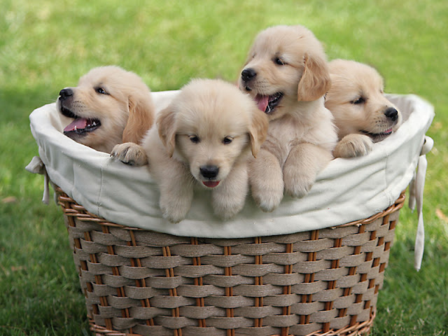 Cute Dog Puppies 31