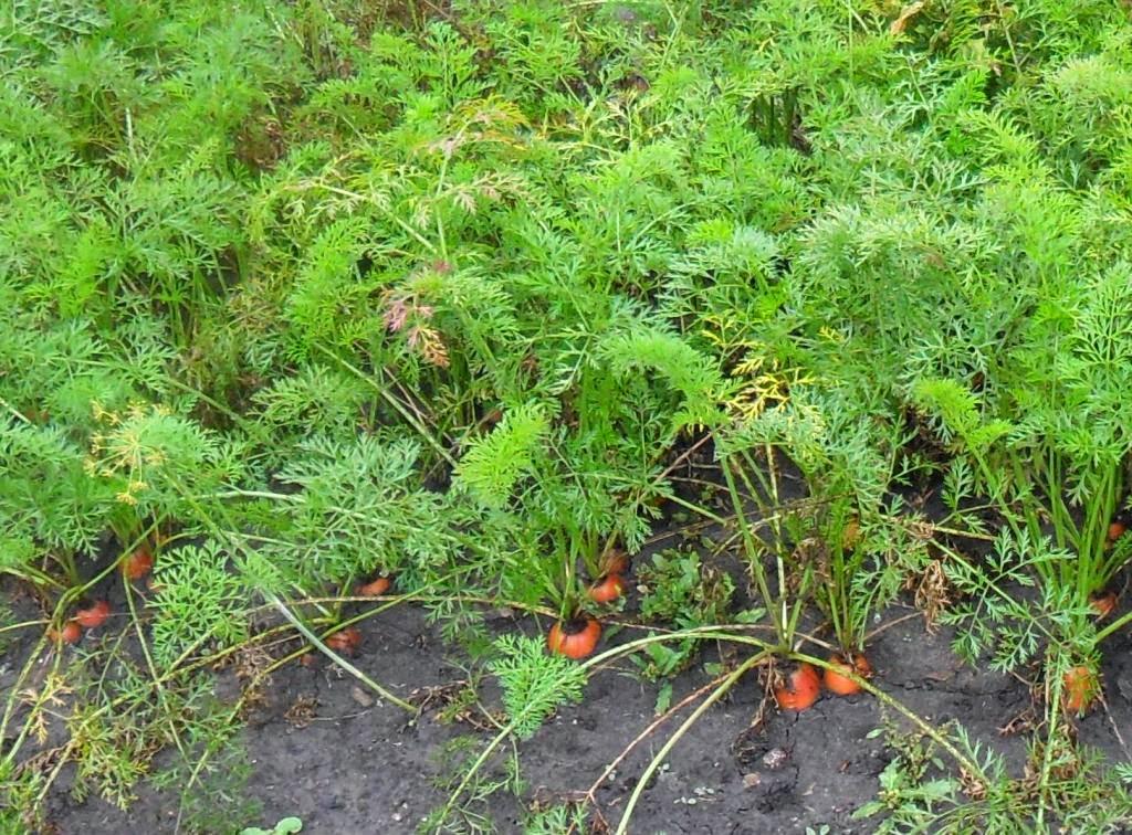 Остатки неубранной морковки