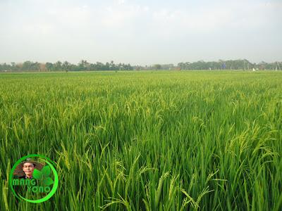 Burung pipit serang tanaman padi di Cibandung, Subang
