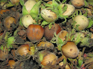орех, лещина, дерево, фундук, растение