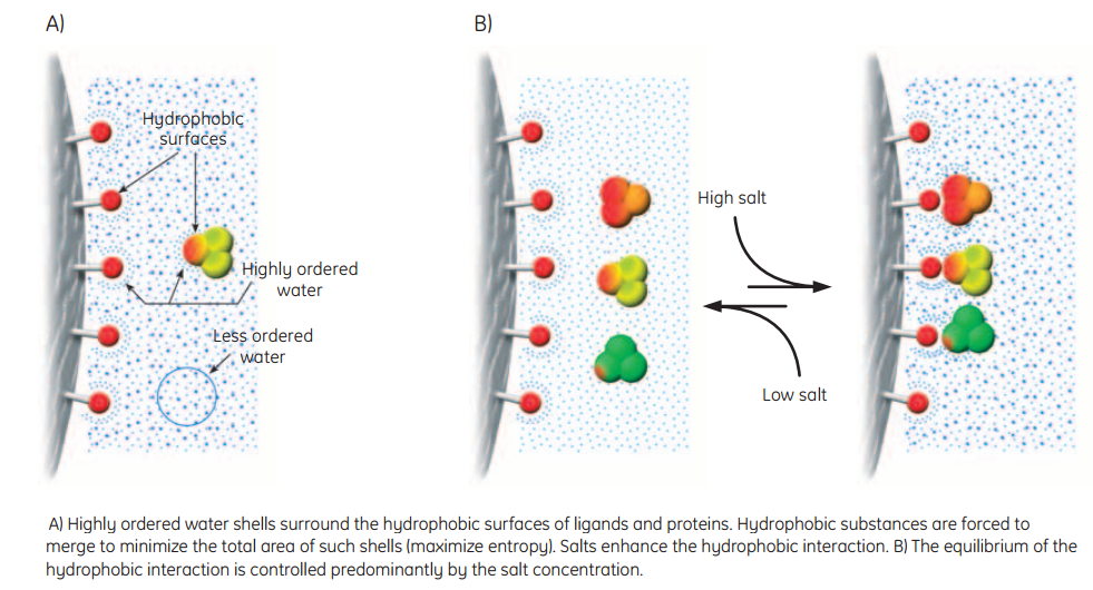Bio-Resource: Hydrophobic Interaction Chromatography - Theory and ...