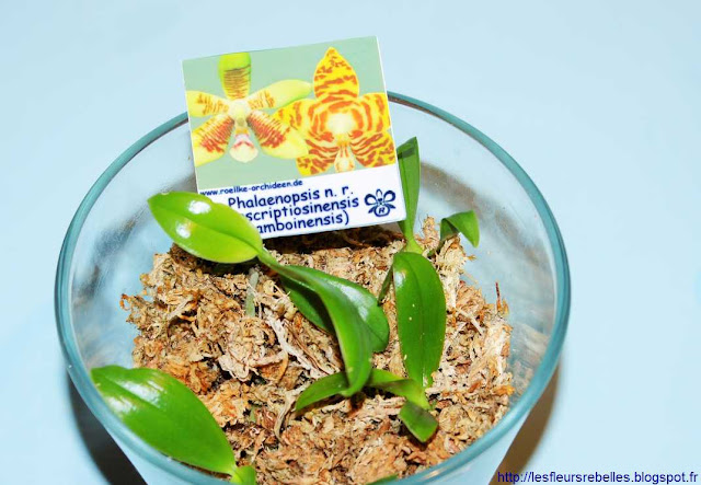 Orchi Pack culture orchidées phalaenopsis in vitro