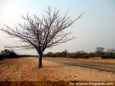 The Yellow-Bucket Marula Tree