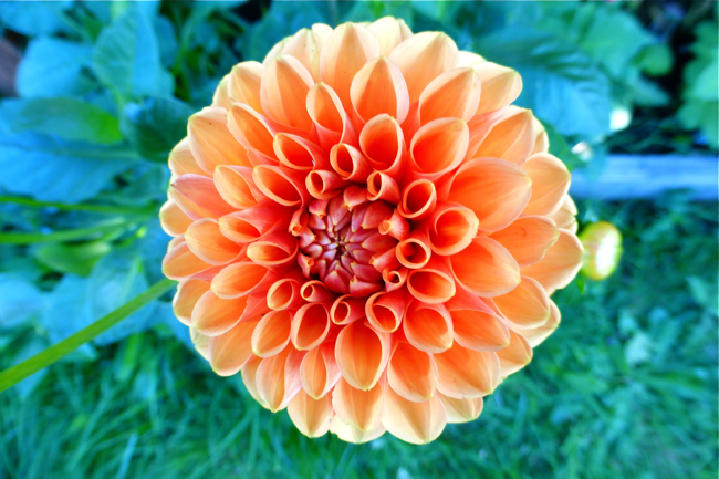 dahlia, orange dahlia, Dazzling Dreams Blend, Dazzling Dreams Blend dahlia, garden