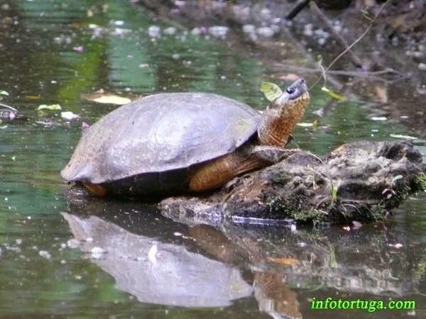Rhinoclemmys funerea en Costa Rica