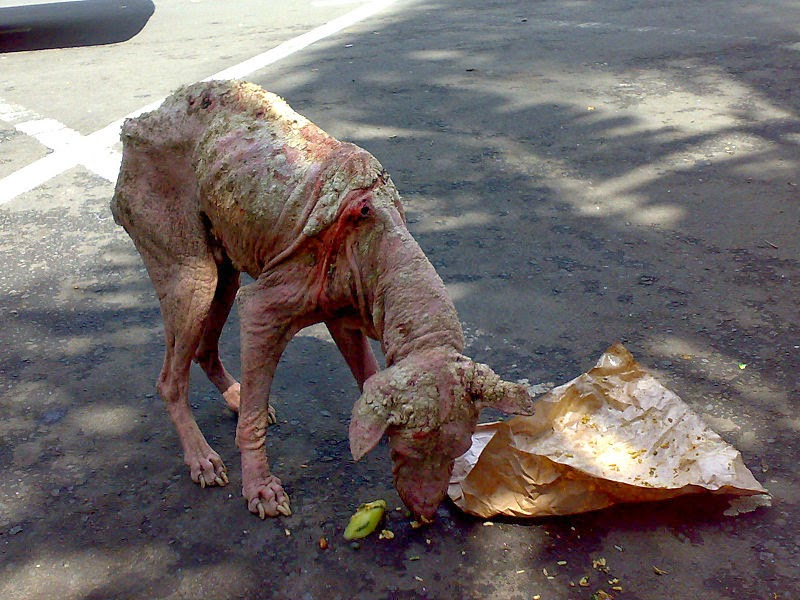Sarcoptic mange, dog, Mary Cummins, Animal Advocates, Los Angeles ...