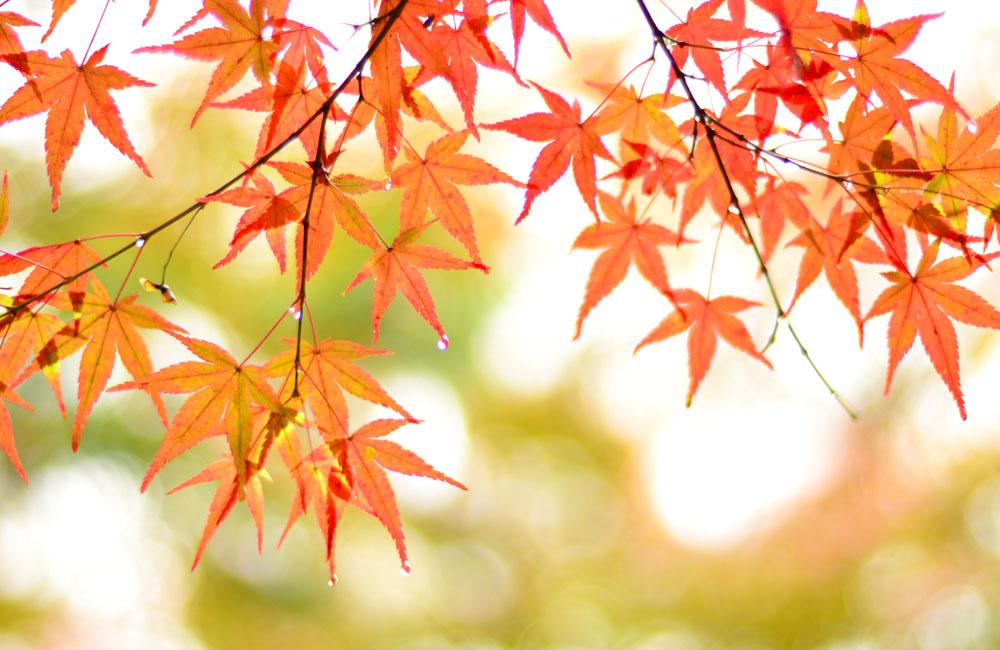 雨上がりの紅葉の写真