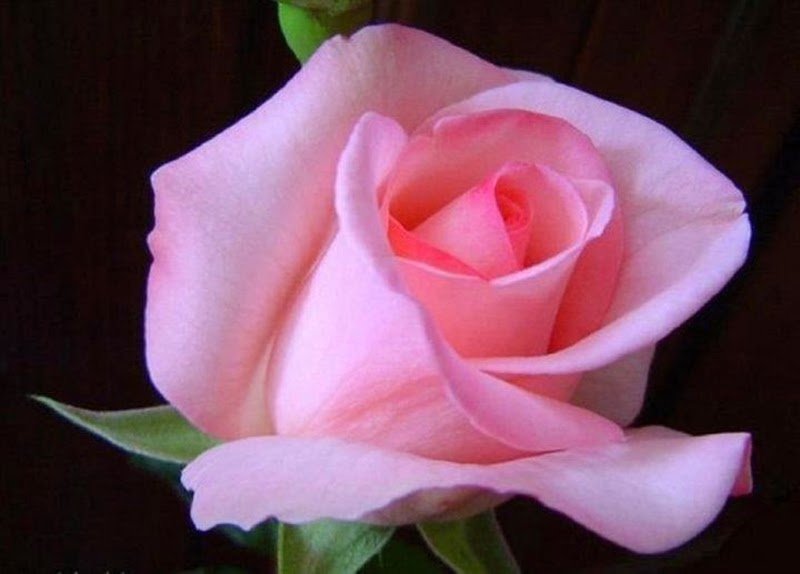 Most Beautiful Romantic Pink Roses Flowers Images Pictures
