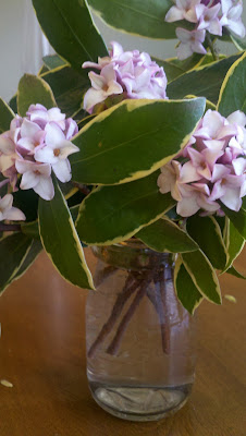 Daphne a winter flower and bush.
