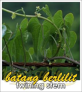 batang berlilit twining stem