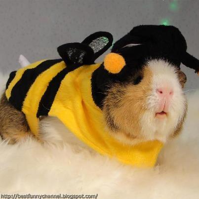 Guinea pig bee.