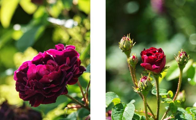 Mørk rose med god sundhed.