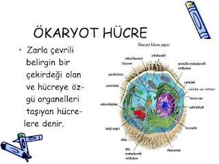 Ökaryot hücre nedir