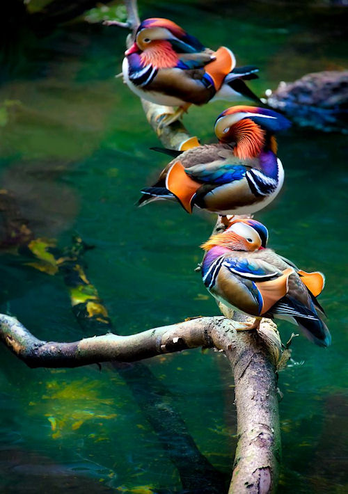 Patos de colores by Alan Shapiro - Color Ducks | clic para ampliar esta imagen