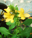Hoa ngắt ngéo - Phan Rang