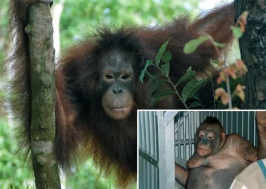 SHOCKING CRUELTY: Orangutan Prostitutes in Borneo