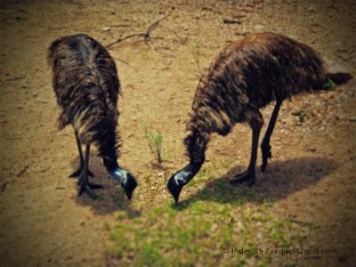 Male and female Emu Birds feeding