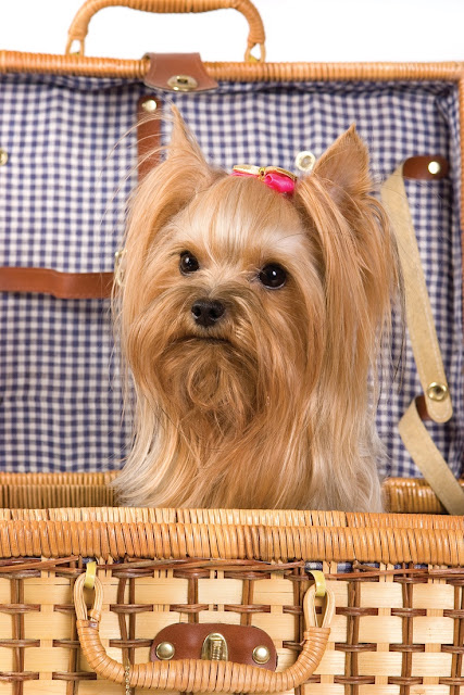 How to groom a Yorkshire Terrier?