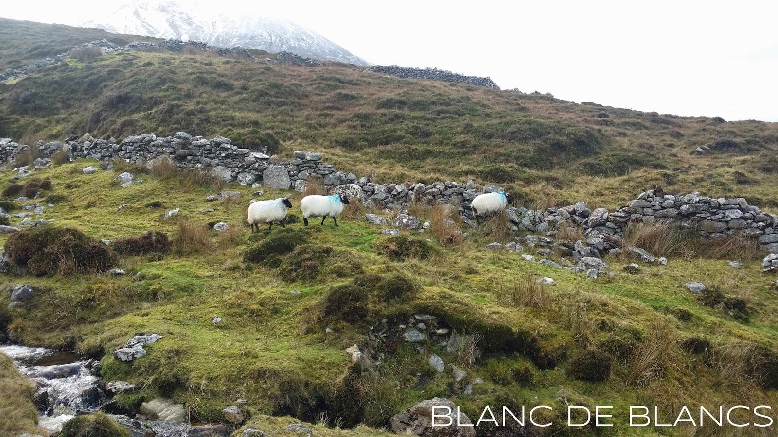 Irlantilaisia lampaita - www.blancdeblancs.fi