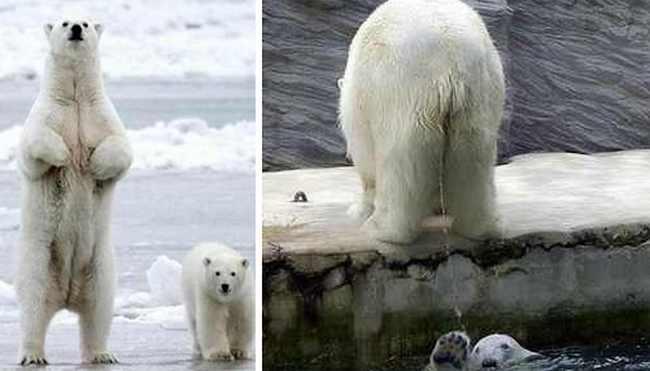 Beruang Kutub (Alat Kelamin yang Menyusut)