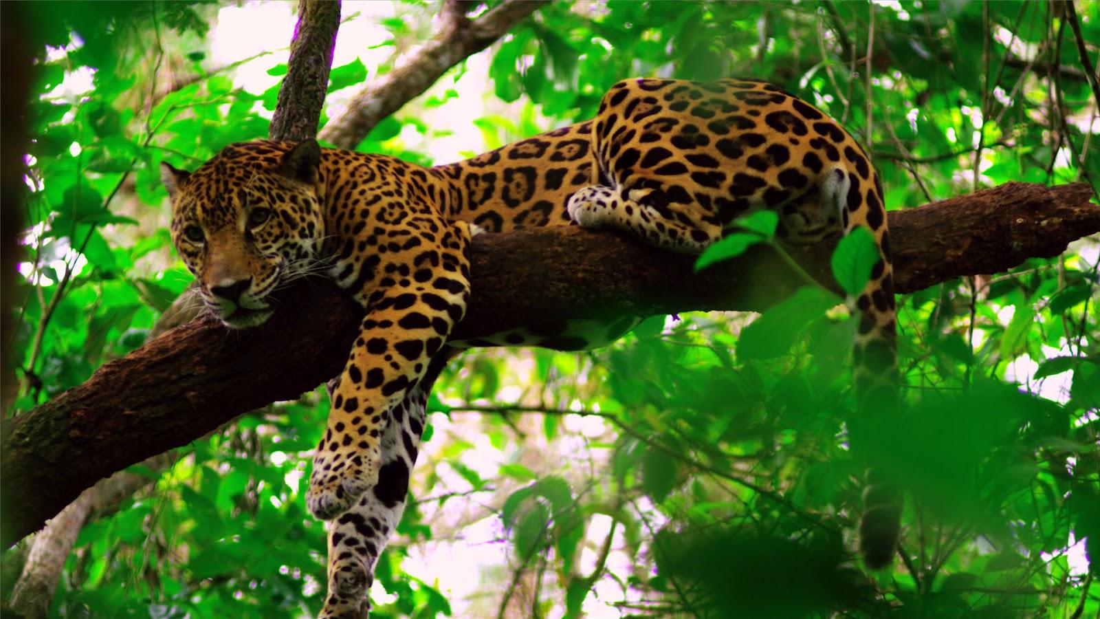 belize jungle tours in the first ever designated jaguar preserve. Black Bedroom Furniture Sets. Home Design Ideas