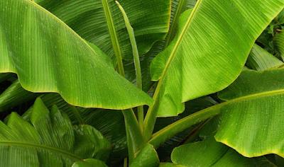 manfaat-daun-pisang.jpg