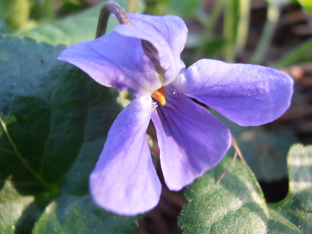 VIOLETA: Viola odorata