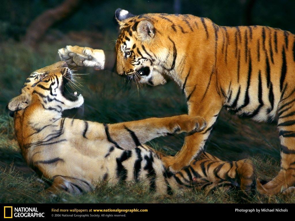 http://2.bp.blogspot.com/-oV60M90JVjc/TtvexwpYaRI/AAAAAAAAJN8/zf6bk4SUCOY/s1600/Bengal-Tiger-Wallpaper.jpg