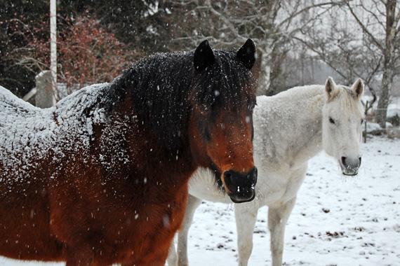 havrehalm till häst