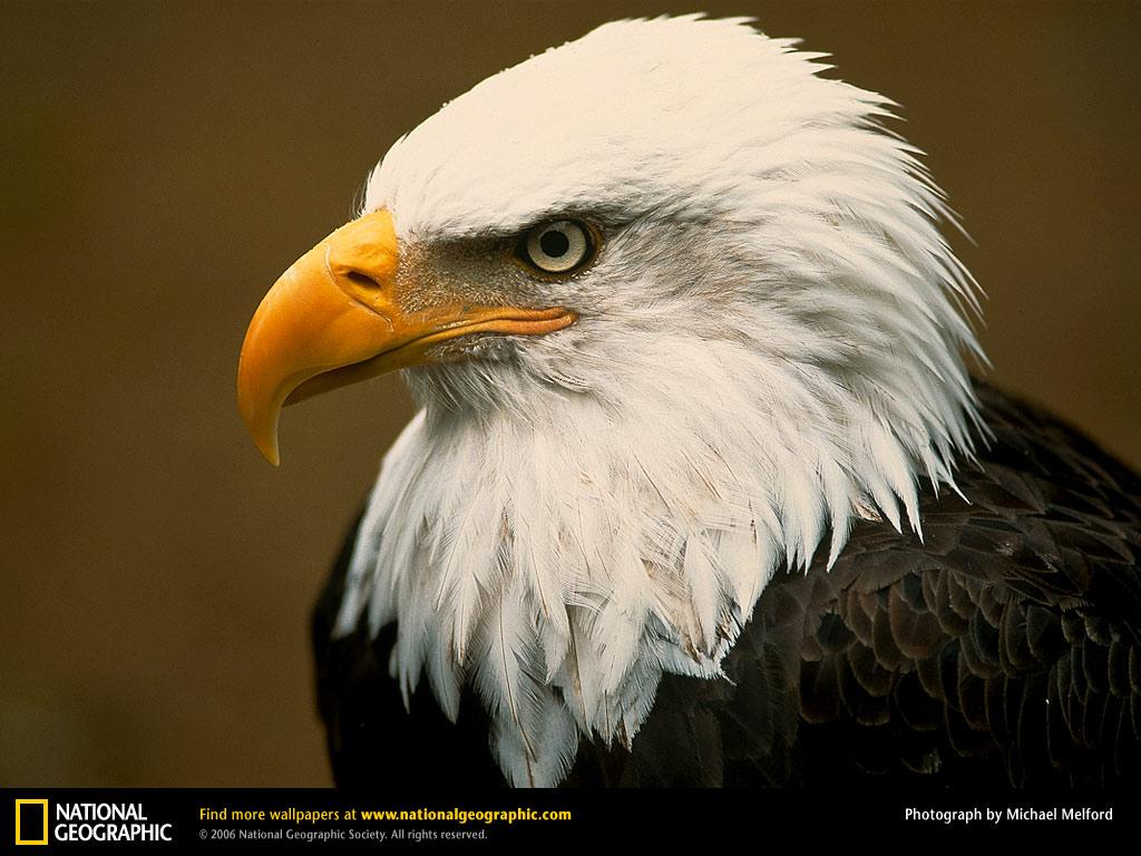http://2.bp.blogspot.com/-oVWmv9S_2Tk/TjmQ2_8JEtI/AAAAAAAAAO8/LQKIO23jTWg/s1600/Bald+Eagle+Wallpapers+4.jpg