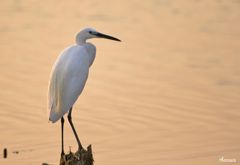 Macro nature photography little egret for 3 little birds salon