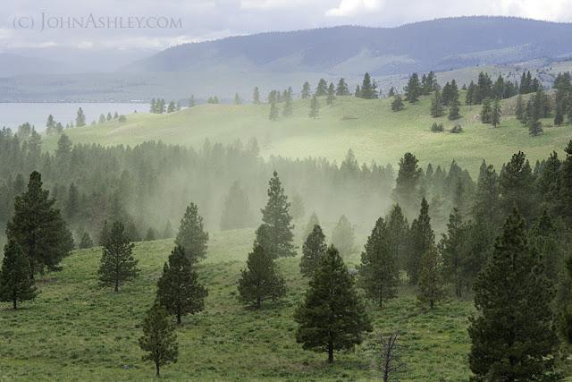 Ponderosa pine trees release a cloud of pollen (c) John Ashley