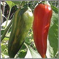 Сладкий перец сорт «Гранатовый»