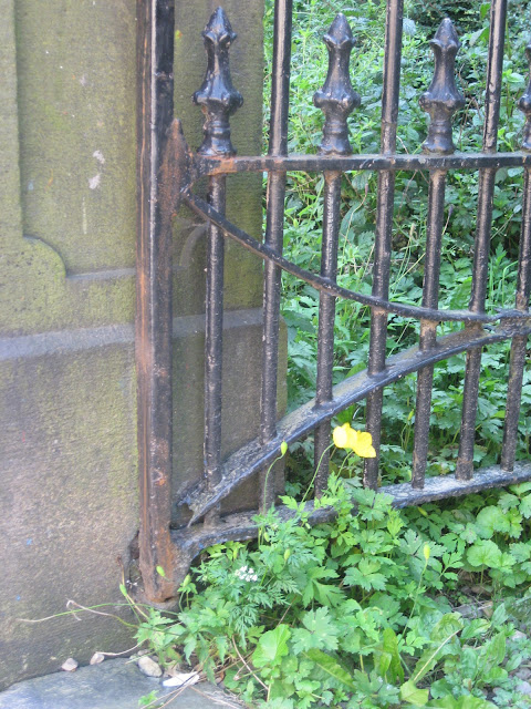 Yellow poppies growing by a gate