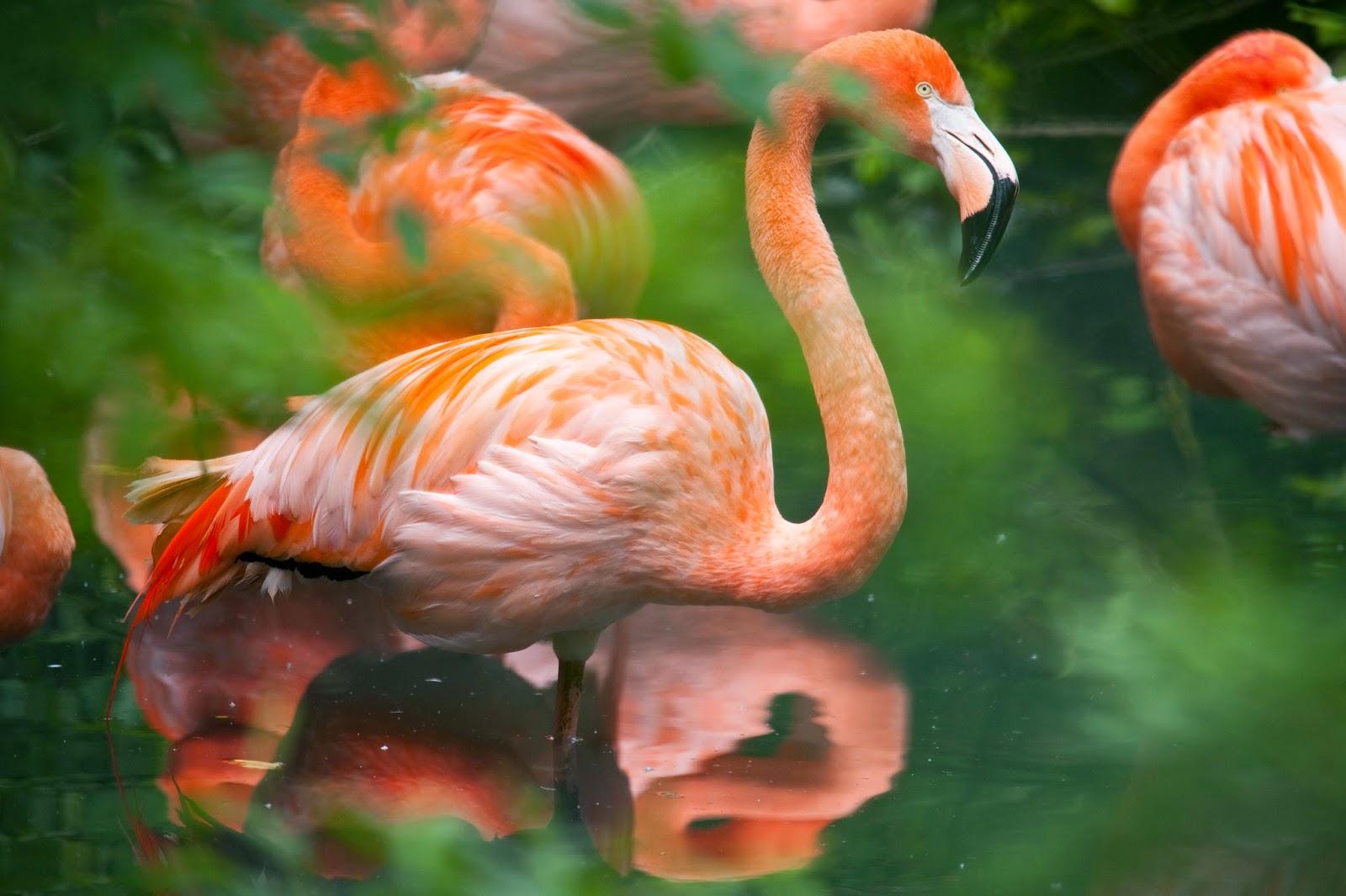 Animal world flamingo rosa for Immagini di pesci da stampare