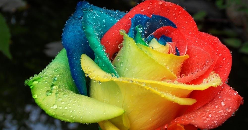 flower pa neuigkeiten regenbogen rosen selbst herstellen. Black Bedroom Furniture Sets. Home Design Ideas