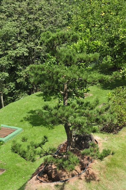 pinheiro negro em jardim japonês