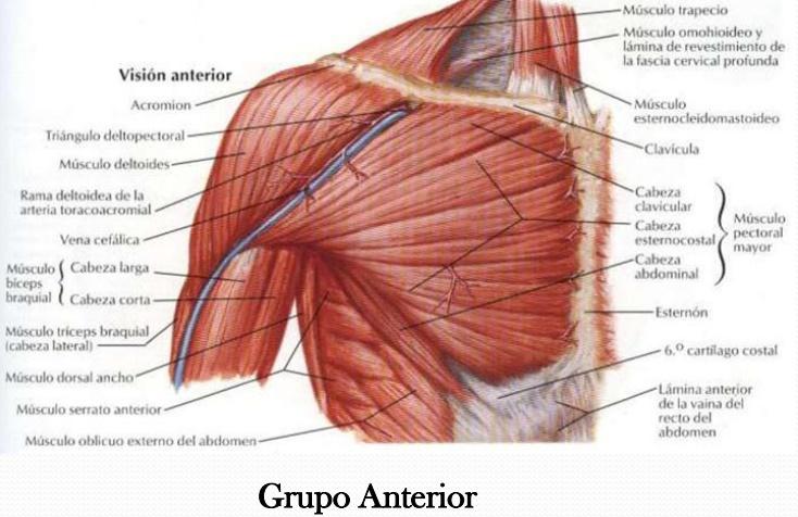 Increíble Los Músculos Del Hombro Fotos Modelo - Anatomía de Las ...