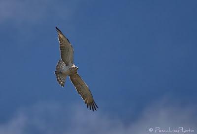 Circaète Jean-le-Blanc (Circaetus gallicus), Short-toed Snake Eagle