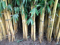 bambu kuning panda