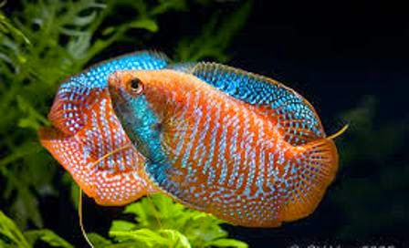 Freshwater Tropical Fish Care for The Dwarf Gourami - Freshwater Fish