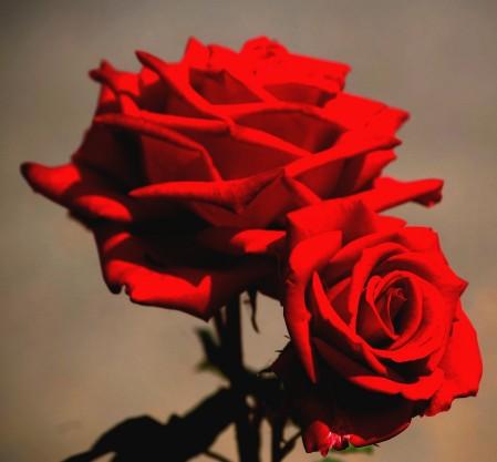rosas rojas el amor Descargar Fotos gratis Freepik